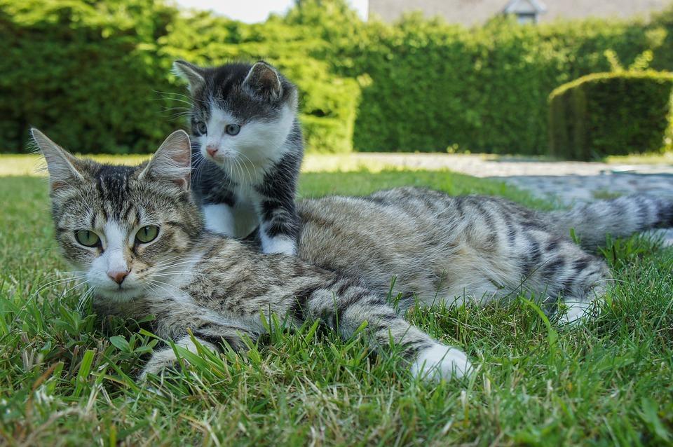 Warum schnurren Katzen